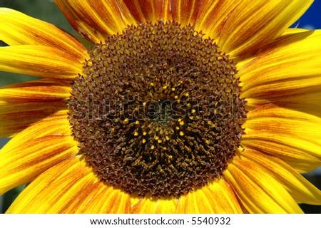 Sunflower - focus on petals - stock photo