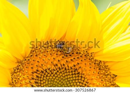 Sunflower half head and a bee closeup  - stock photo