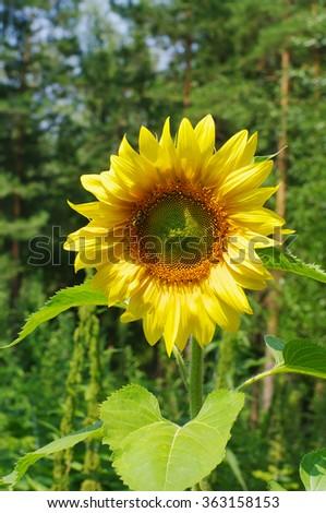 sunflower head closeup outdoor, local focus, shallow DOF - stock photo