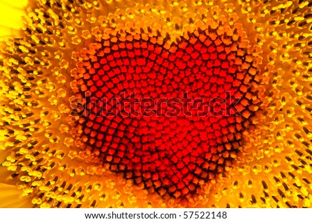 Sunflower head with red heart - stock photo
