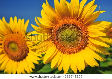 Sunflower Heads Close-Up Shot - stock photo