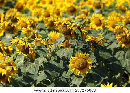sunflower in field close up - stock photo
