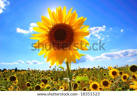 Sunflower in field in Tuscany, Italy. - stock photo