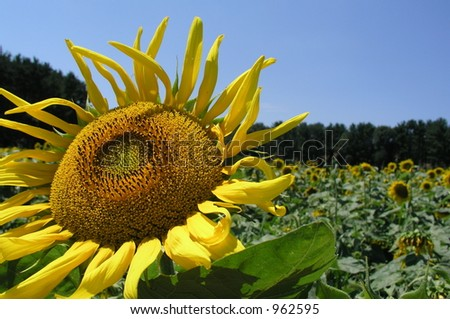 Sunflower in field with blue sky - stock photo