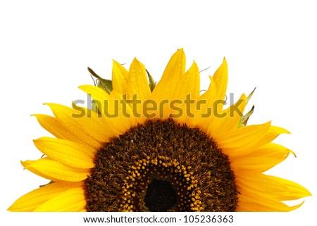 sunflower in sunset - stock photo
