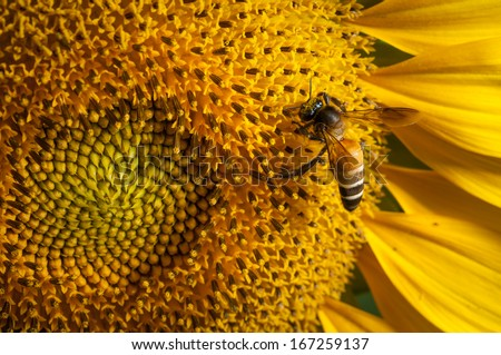 Sunflower in Thailand on a sunny day - stock photo