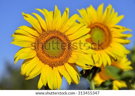 Sunflower in the field, Provence, France - stock photo
