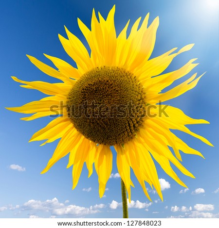 sunflower in the sun - stock photo