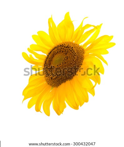 Sunflower isolated. A series of images of sunflowers. - stock photo