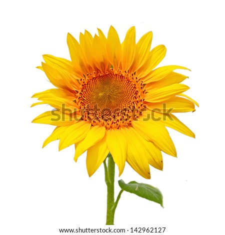 Sunflower, isolated on a white background - stock photo
