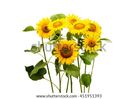 sunflower isolated on a white background - stock photo