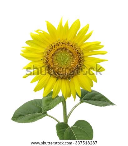 Sunflower isolated on white - stock photo