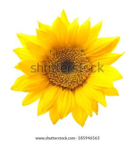 Sunflower Isolated on White Background - stock photo