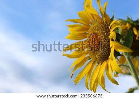 sunflower nature flower yellow beautiful outdoor - stock photo