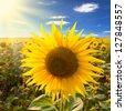sunflower on a field - stock photo