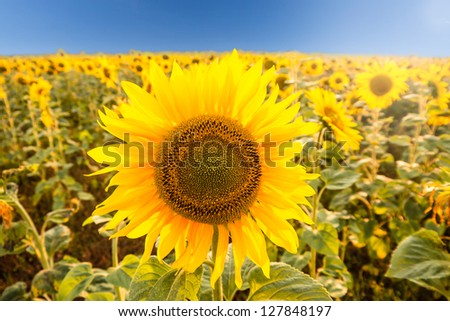 sunflower on a field - stock photo
