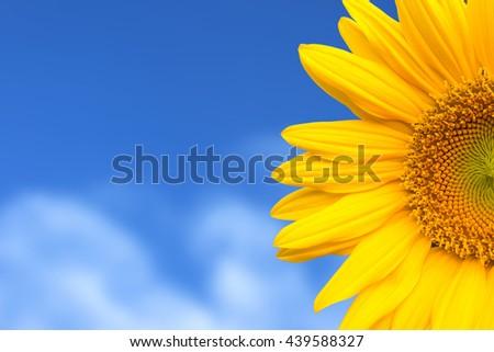 Sunflower on blue sky background - stock photo