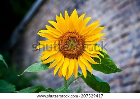 sunflower on brick wall background - stock photo