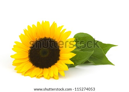 sunflower on white background (Helianthus) - stock photo