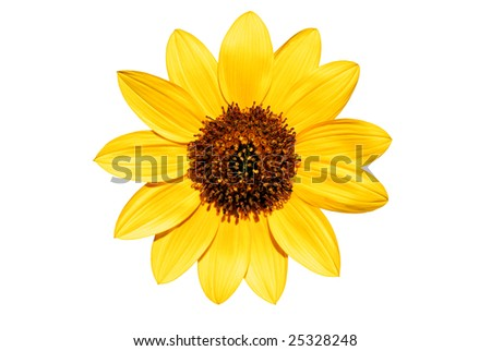 Sunflower on white background, WITH clipping path - stock photo