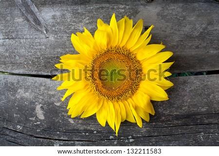 sunflower on wooden surface - stock photo