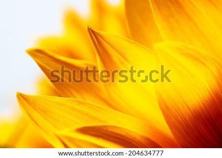 Sunflower petals macro close-up detail  and texture - stock photo