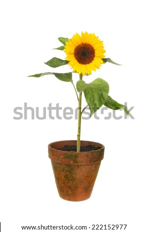 Sunflower plant in a terracotta pot isolated against white - stock photo
