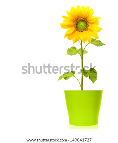Sunflower plant in green pot isolated on white background. - stock photo