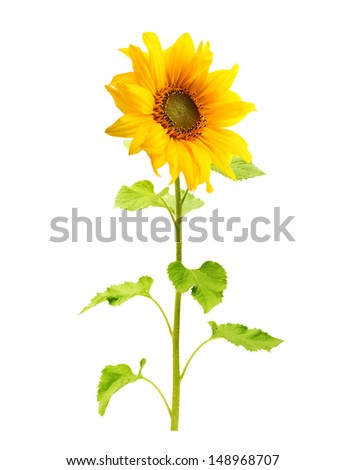 Sunflower plant isolated on white background. - stock photo