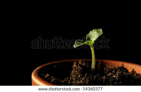 sunflower plant sprouting - stock photo