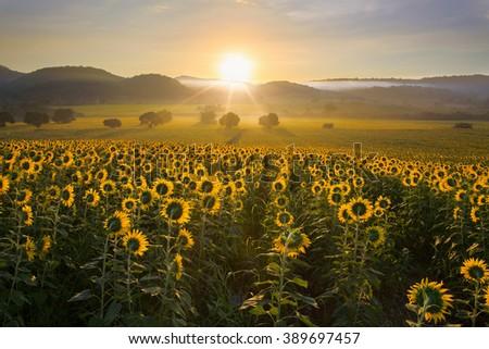 Sunflower plantation at sunrise with gigantic field in Nakhon Ratchasima, Thailand. - stock photo