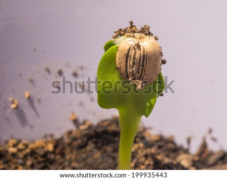 Sunflower seed sprouts grow from hulled sunflower seeds. - stock photo