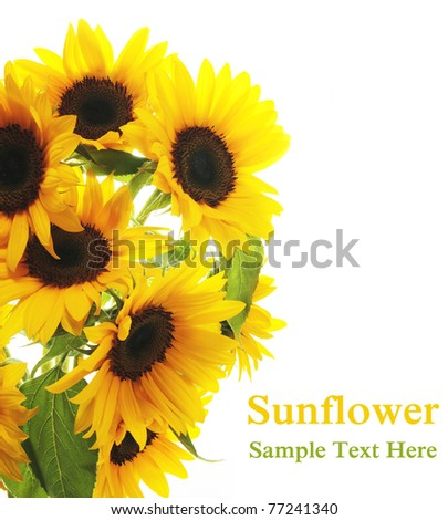 Sunflower. White background - stock photo