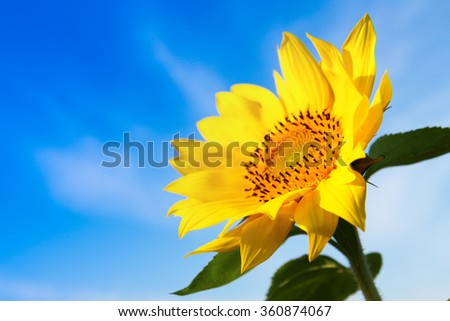 Sunflower with blue sky - stock photo