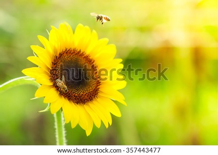 sunflower with busy bee - stock photo