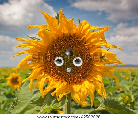 Sunflower with socket in a field of sunflowers. - stock photo