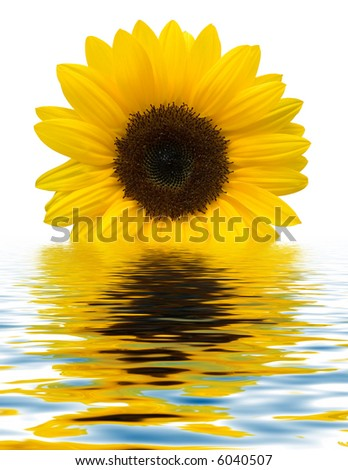 Sunflower with water reflection - stock photo