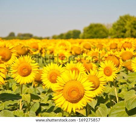 sunflowers? - stock photo