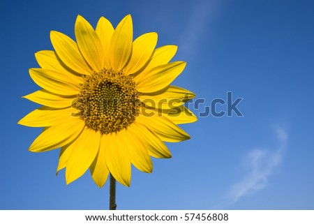 sunflowers against bright blue summer sky - stock photo