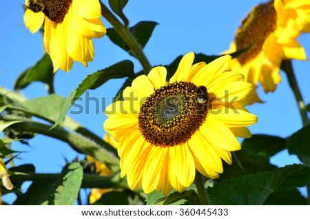 Sunflowers and a bumblebee closeup - stock photo