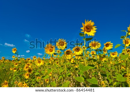 Sunflowers and the blue sky - stock photo