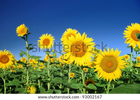 sunflowers at the field in summer - stock photo