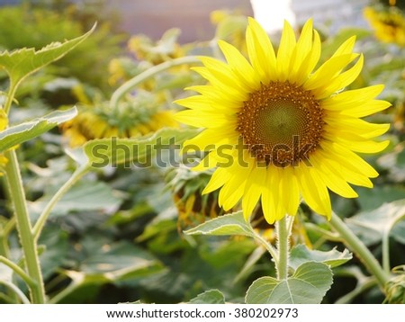 Sunflowers blooming against a bright sky with sun light from back - stock photo