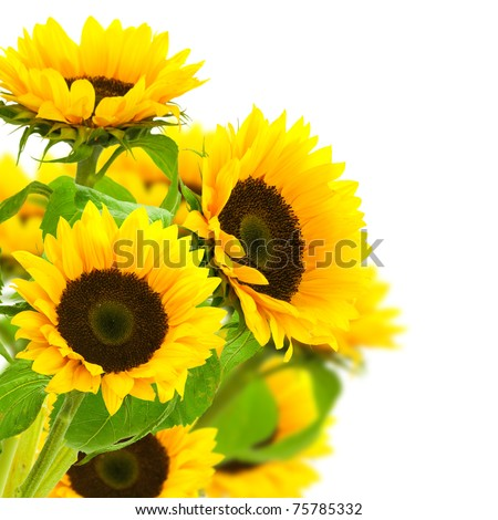 sunflowers border over a white background - stock photo