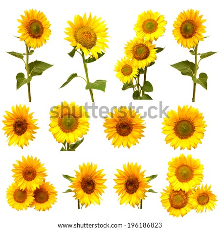 Sunflowers collection on the white background - stock photo