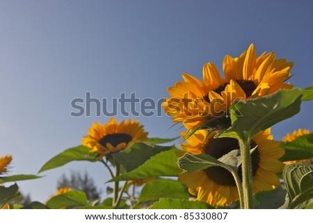 Sunflowers during sunset - stock photo
