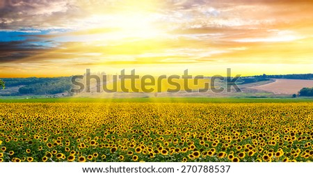 Sunflowers field against a dramatic sky at sunset - stock photo
