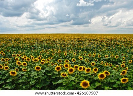 Sunflowers field on a background of the cloudy sky       - stock photo