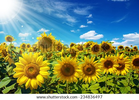 sunflowers field on cloudy blue sky  - stock photo