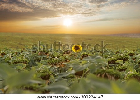 Sunflowers field with clouds in blue sky at sunset